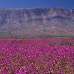 desiertofloridoatacama1_thumb