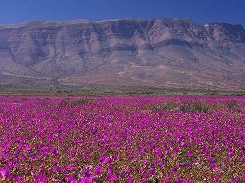 As Flores Do Deserto Do Atacama
